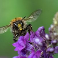 2nd - Common Carder Bumblebee - Clive Greenland