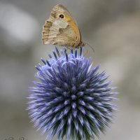 Meadow Brown on a 'Blue Globe Thistle'