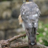 Sparrowhawk having finished Lunch