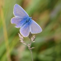 Another Common Blue